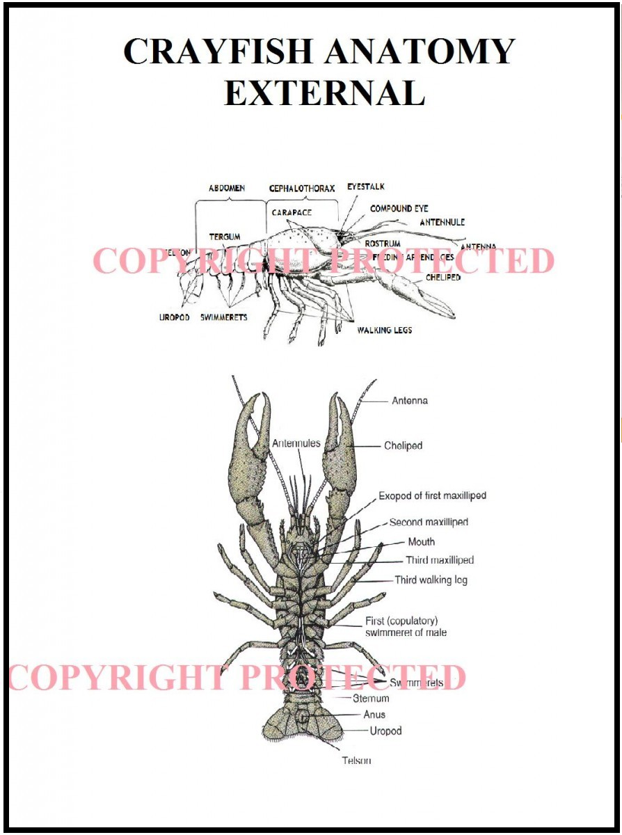 Crayfish External Anatomy Chart, Information & Disposal PDF's