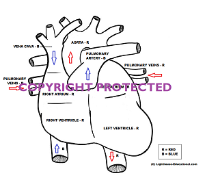 Heart Printable for Anatomy