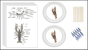 Crayfish External Anatomy Kit - Includes Information and Anatomy PDF's